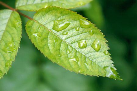 roseleaf: rain on a rose leaf Stock Photo