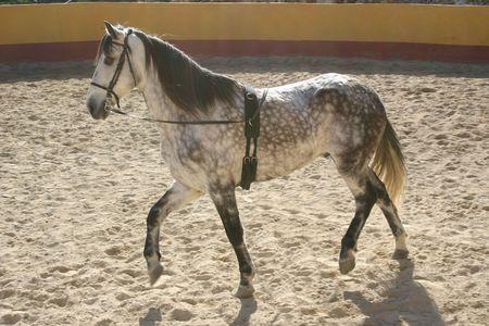 spanish stallion in a training ring