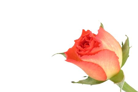 rosebud isolated over a white background Stock Photo - 795718