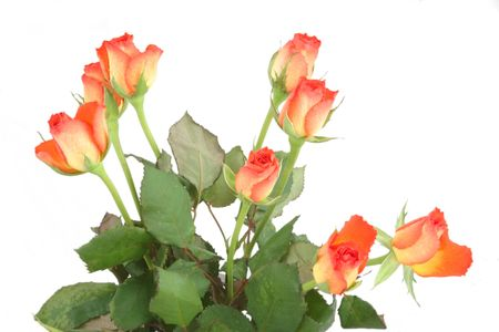 bunch of roses for a gift isolated over white Stock Photo - 795723