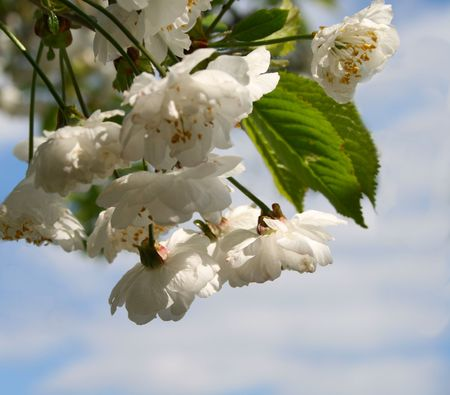 springtime white cherry blossom growing on the tree photo