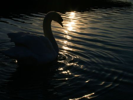 swan on the lake in the early morning dawn light photo