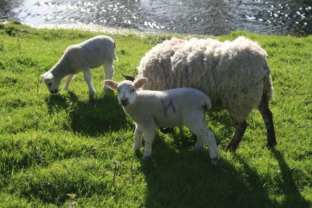 ewe with her lambs in the springtime Stock Photo - 1335497