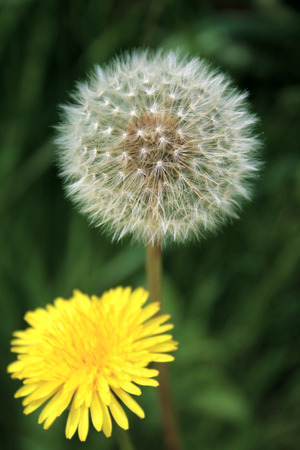 dandelion flower and seedhead growing together in the grass Stock Photo - 1413136