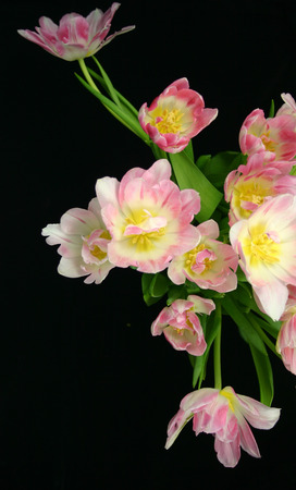 beautiful pink and white tulips against a black background photo