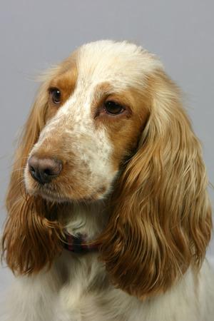 portrait of a cocker spaniel puppy dog