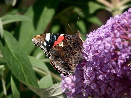 admiral: red admiral butterfly on a buddleja flower