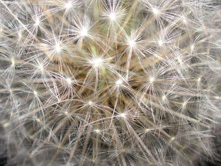 macro shot of a dandelion seedhead