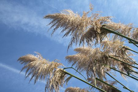 wavering: pampas grass growing against the blue sky Stock Photo