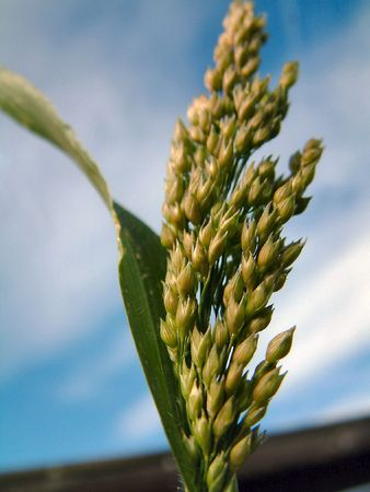 wild oats: head of grass against a blue sky