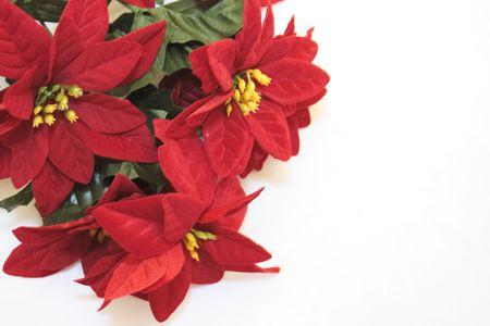 imitation poinsettia flowers isolated over a white background photo