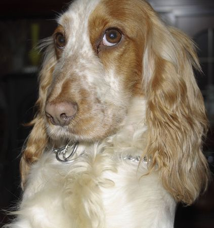 coy: cocker spaniel with a coy look on its face