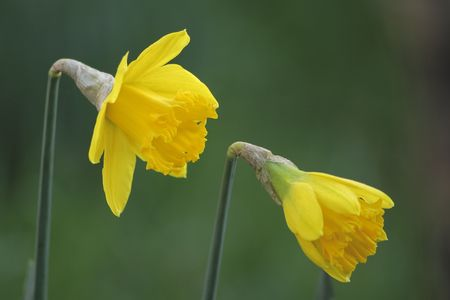 two daffodils growing in the garden taken with a very shallow dof photo