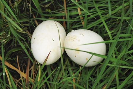 goose eggs   in the grass of a gooses nest Stock Photo - 2874881