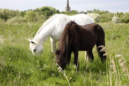 fells: wild ponies grazing on the fells