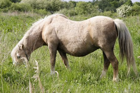 fells: wild pony grazing on the fells Stock Photo