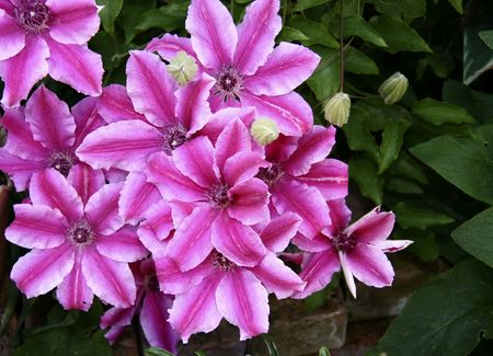vibrant pink striped flowers on the clematis plant