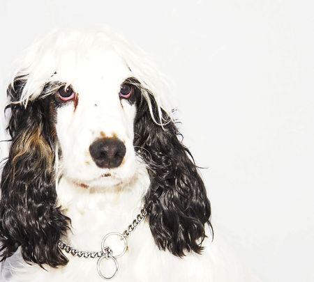 ojos tristes: cocker spaniel blanco y negro con grandes ojos tristes Foto de archivo