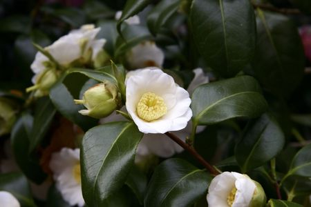 beautiful detail of the camelia flower on the bush photo