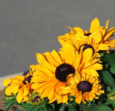 has been: lovely plant of the daisy family called blackeyed suzie this has been attacted by insects.