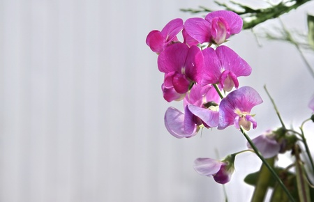 sweet pea flower: a variety of sweetpea that comes back year after year