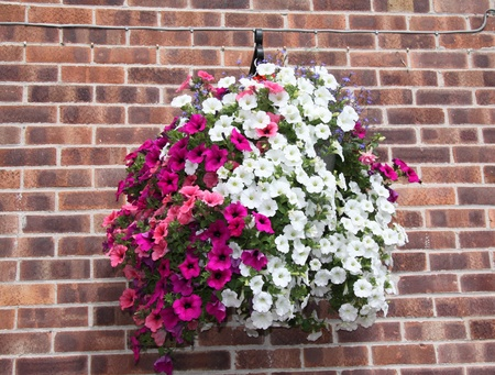 very large hanging baskets full of petunia flowers used to decorate shop exterior photo
