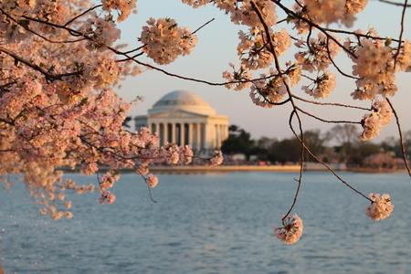 DC Cherry Blossoms Stock Photo