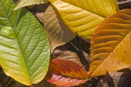 Large multi-colored fallen leaves overlap one another on the ground Stock Photo - 14088578