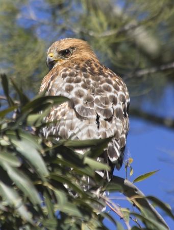 shouldered: Silently watching - a red shouldered hawk perched in a tree staring over his shoulder