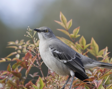 openly: Songbird portrait  A northern mockingbird openly perches in a leafy bush