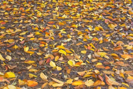 Wet, fallen leaves  Ground covered with fallen, multicolored autumn leaves  Makes a nice seasonal background  Stock Photo - 16693388