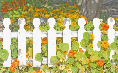 Wildflowers and old white picket fence   Colorful spring flowers and leaves growing behind and through the slats of a wood fence in a suburban garden  Horizontal nature scene  Stock Photo