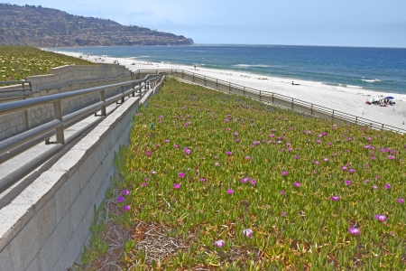 groundcover: Beautiful path to the beach   Paved ramp with metal handrail leads down to the shoreline surrounded by blooming iceplant with purple flowers  Stock Photo