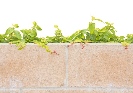 Vine climbing over a brick wall  Creeper plant with red and green leaves growing behind a brick wall  Shoots and small leaves are climbing over the top  Great for a background  Room for text, copy space  Isolated on a white background Stock Photo - 19686059