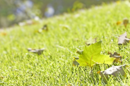 One green leaf   Close up of a fallen green leaf surrounded by brown leaves resting in blades of grass on a hillside  Blurred background  photo