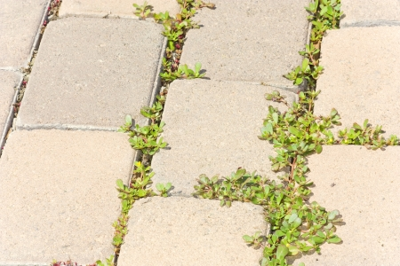 Paving stones and weeds  Close up of green foliage growing and spreading between brick pavement walkway cracks  Horizontal photo, angled perspective  Stock Photo