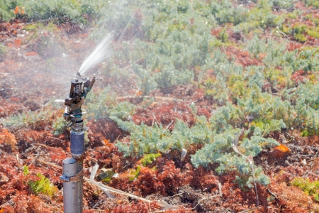 groundcover: Rotating automatic sprinkler head watering ground cover plants   Sprayer mounted on vertical pipe spraying water on low growing bushes  Blurred background  Horizontal photo   Stock Photo