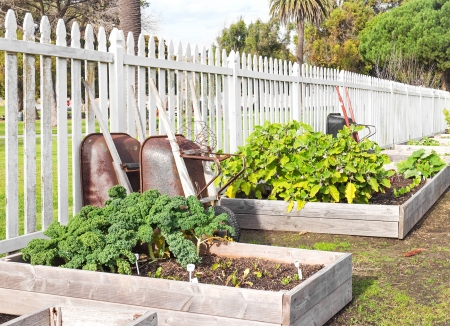 Raised bed vegetable garden   Leafy green vegetables growing in soil inside row of wood frame boxes  Wheelbarrows propped up on white picket fence  Horizontal view  photo
