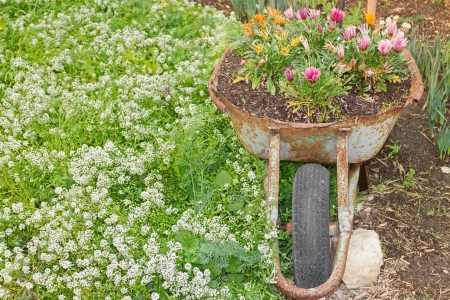 ground cover: Old rusty wheelbarrow used as a decorative flower bed planter   Blooming gazania flowers and white sweet alyssum ground cover  Horizontal landscape scene  Stock Photo