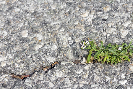 cracking: Weed green leaves and small white flowers growing through cracked pavement   Nice for a survival or hardship concept  Close up, horizontal scene