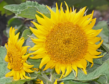 Pair of yellow sunflowers   Pacino variety sunflower. Front view close up, green leafy background. photo