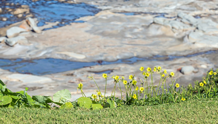 fragility: Group of fragile yellow wildflowers growing on grass overlooking rugged rocky shore below   Hard and soft, fragility concept. Stock Photo