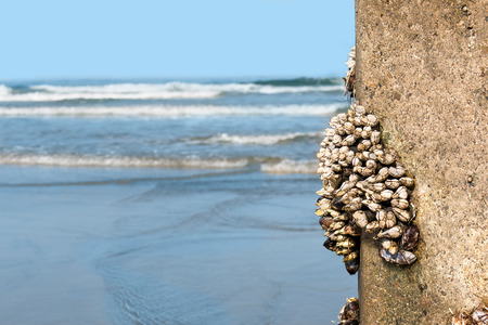 clinging: Group of gooseneck or goose barnacle crustaceans clinging to rough texture concrete pylon at the ocean   Blue water, rolling tide, and sky in blurred background. Stock Photo