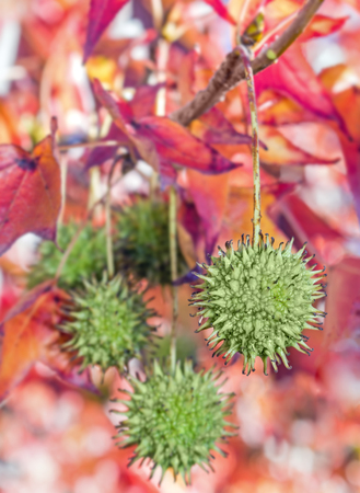 lifecycle: Estación de caída sweetgum verde vainas de semillas de árboles que cuelgan en un árbol con follaje de fondo borrosa rojo y púrpura. Enfoque selectivo en la vaina frente. También conocido como árbol de liquidámbar. Concepto de ciclo de vida de la naturaleza. Composición vertical.