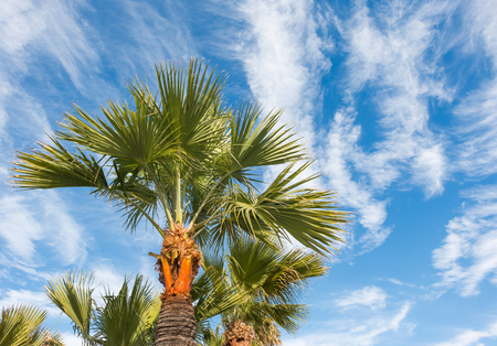 wispy: Looking up at Southern California palm trees against blue sky and cloudscape.  Perspective view from under the tree. High white wispy cirrus clouds stretching across the sky.