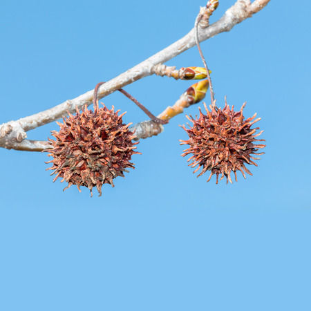 lifecycle: Fall season brown sweetgum tree seed pods hanging on a branch with blue sky. New leaf buds in blurred background. Nature lifecycle concept. Square composition.