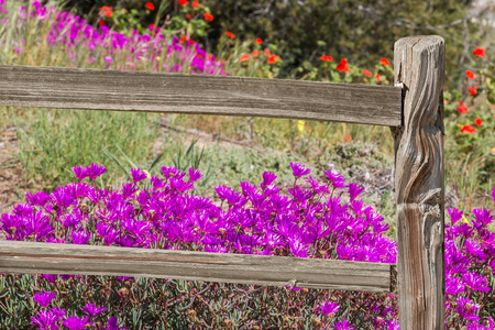 ice plant: Split rail wood fence and bright wildflower background.  Bright purple ice plant flowers behind fence. Stock Photo
