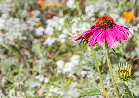 droop: Long stem purple coneflower with drooping petals in bright sunshine.