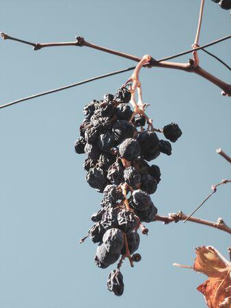 Wine grapevine plant on autumn on a beautiful sky