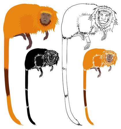 Golden Lion tamarin front view